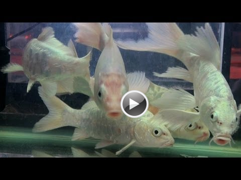 Milk White Koi Carp Aquarium Fish India Video