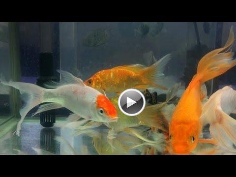 Veiltail goldfish fancy goldfish ornamental aquarium for Ornamental fish tank