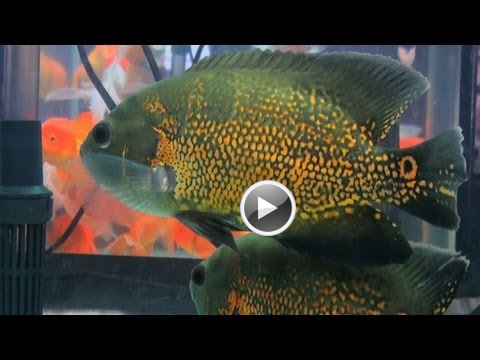Tiger Oscar Fish Aquarium Fish Cichlid Family India Video